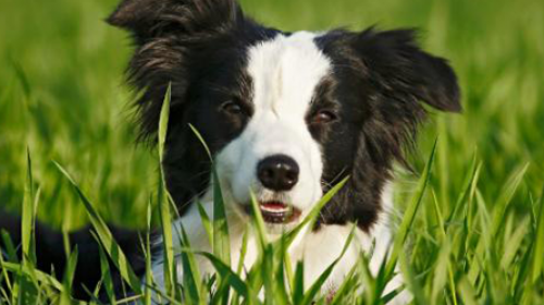 Kako zaštititi psa od krpelja i buva?
